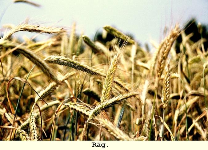 Rågfält, närbild