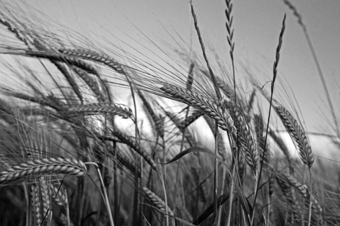 sida_bondepraktikan-september-korn