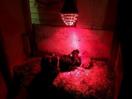 Småhönorna hade lagt sig för natten