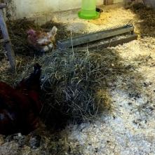 Efter rengöring. Nytt strö och en korn/klöverbal gjorde tuppen Evert glad